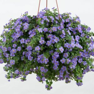 Bacopa_Purple