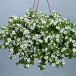 Bacopa_White