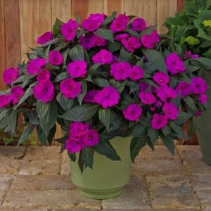 New Guinea Impatiens Purple
