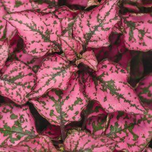 Polka dot Plant Pink