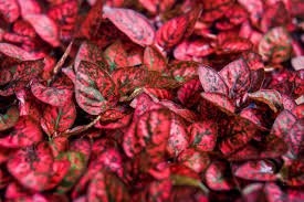 Red Polkadot Plant
