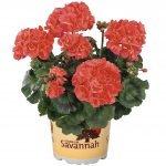 Geranium Coral