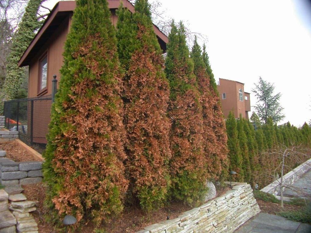 Evergreens Turning Brown In The Winter