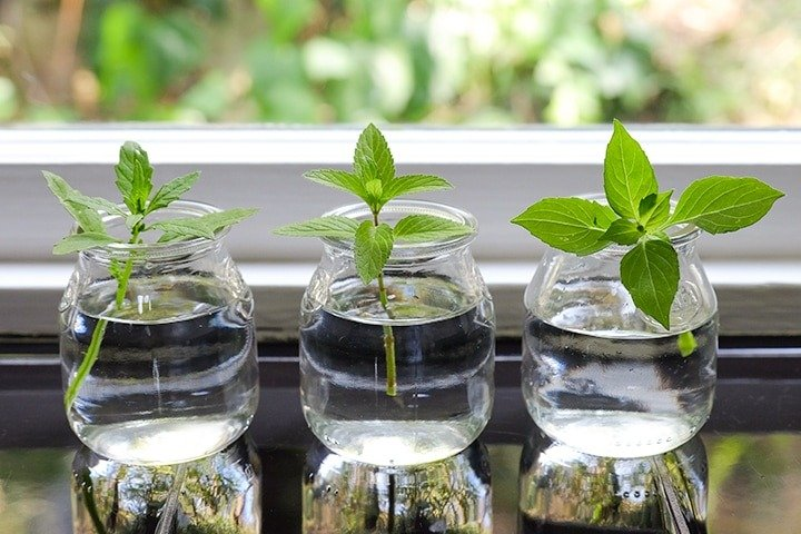 Grow Basil and Mint From Cuttings - Best Vegetables to Grow from Scraps