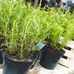 Rosemary Online Garden Centre