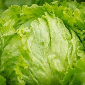 Head Lettuce Greenhouse to Garden