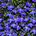 Lobelia Blue Purple