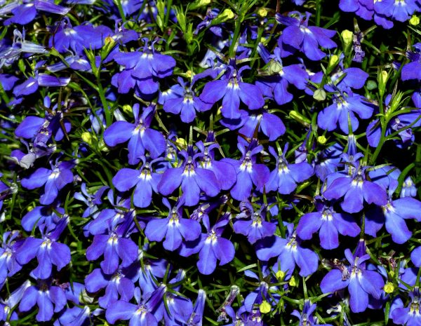 Lobelia Blue Purple