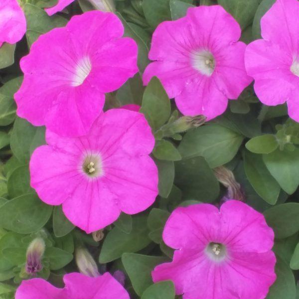 Wave Petunia Pink