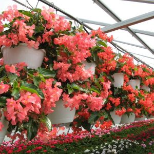 Dragon Wing Begonia Red - Greenhouse to Garden