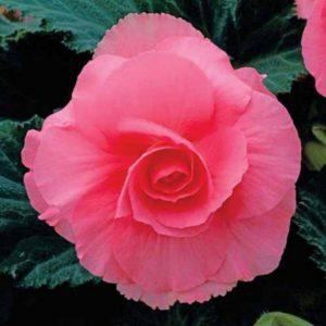 Tuberous Non-Stop Begonia Pink