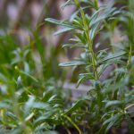 Rosemary Plant - Greenhouse to Garden