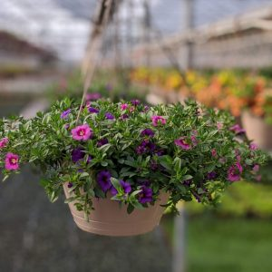 Flower Hanging Basket Million Bells