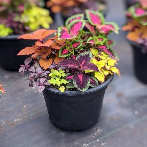 Coleus Mix Planter