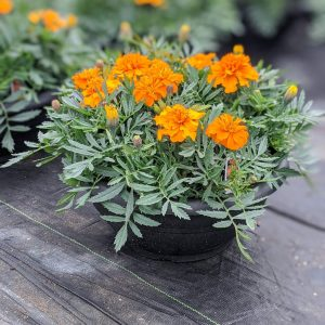 Marigold Orange Planter
