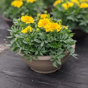 Marigold Yellow Planter