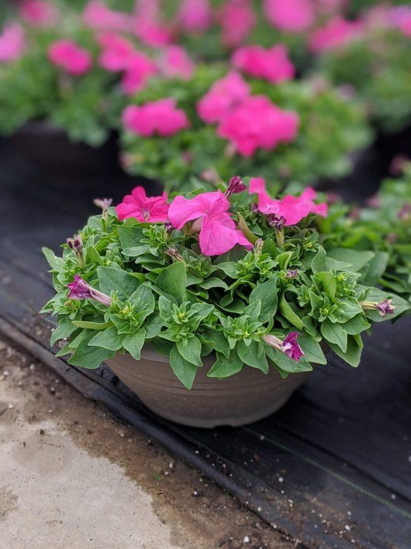 Petunia Bowl Pink