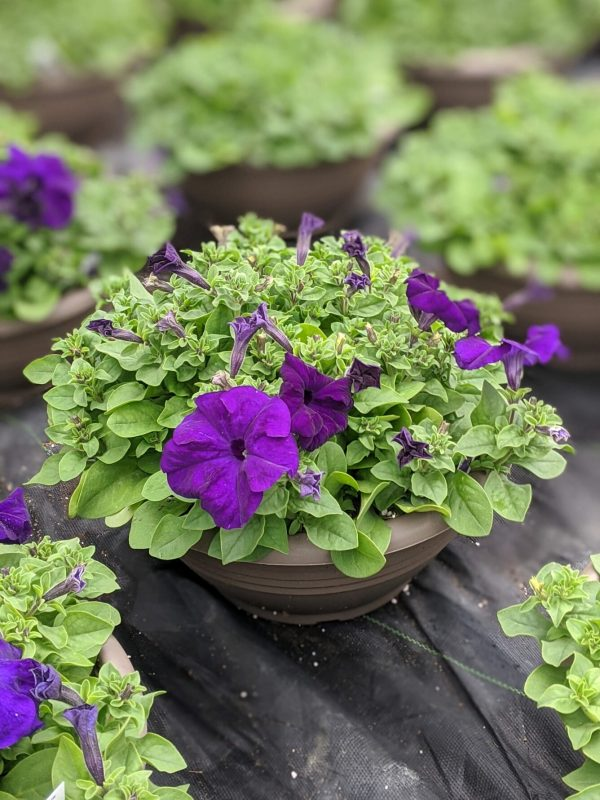Petunia Bowl Purple