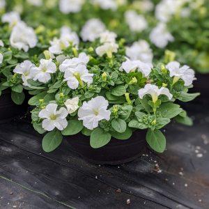 Petunia Bowl Sky White