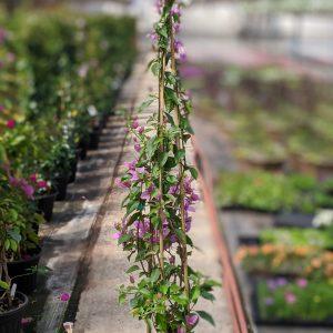 Bougenvelia Plant