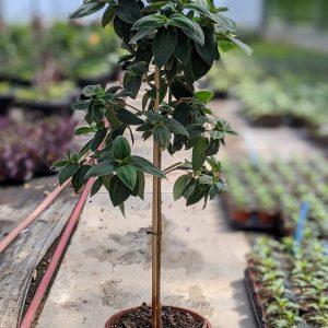 Lantana Plant