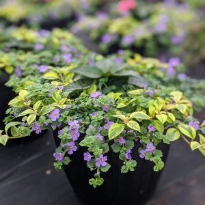 New Guinea Bacopa Planter
