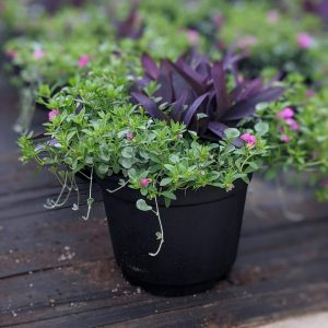 Purple Robe Wave Petunia Planter
