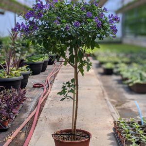 Solanum Purple Plant