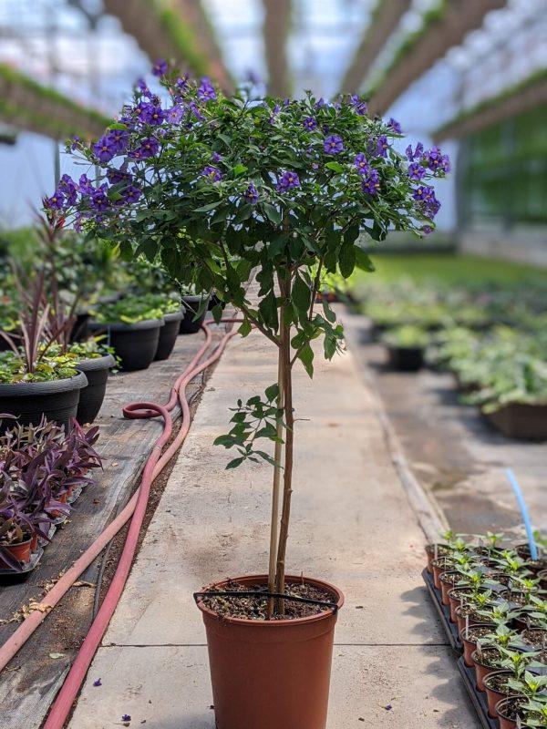 Solanum Purple Plant